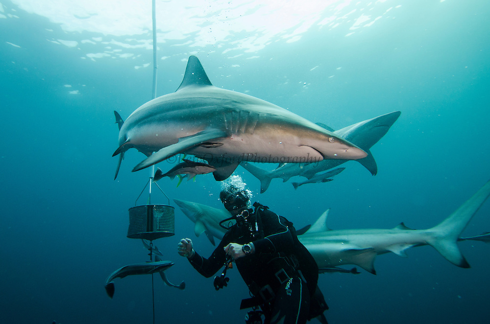 Oceanic Black-tip shark (Carcharhinus limbatus) & Chum Bucket & Diver<br /> Baited shark dive<br /> Umkomaas<br /> KwaZulu Natal<br /> SOUTH AFRICA<br /> Range: Widespread in all tropical and subtropical continental waters