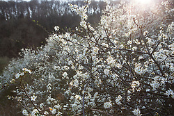 Blackthorn blossom in a hedgerow at Strawberry Banks, Gloucestershire. Sloe, Prunus spinosa