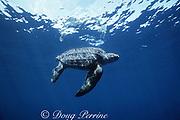 leatherback turtle, Dermochelys coriacea, mature female, off Mexiquillo Beach, Mexico ( Eastern Pacific Ocean )
