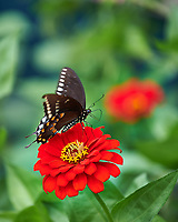 Black Swallowtail Butterfly on a red Zinnia flower. Image taken with a Nikon D850 camera and 105 mm f/2.8 VR macro lens