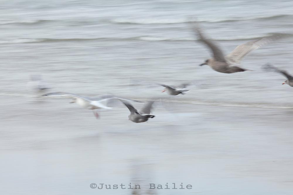 Gulls on the Oregon Coast. Manzanita, Oregon