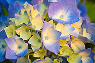 yellow and blue Nikko Blue Hydrangea (Hydrangea macrophylla) macro