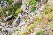 Juvenile peregrine (Falco peregrinus) patrolling the coastal cliffs. Dorset, UK.