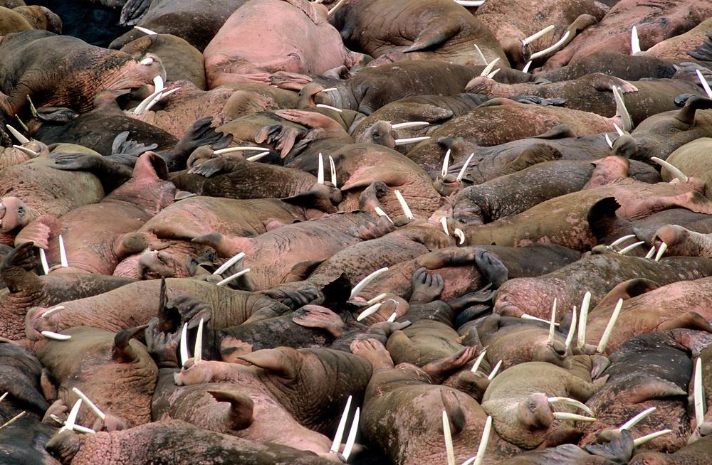 Male (Bull) Pacific walruses (Odobenus rosmarus divergens) at terrestrial haulout at Cape Seniavin, Alaska Peninsula