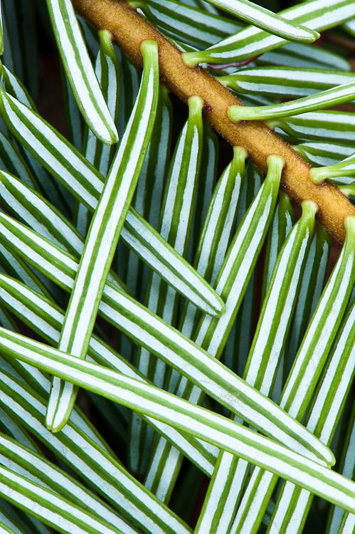 Grand-fir needles, Olympic National Park, Washington, USA