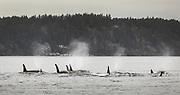 Members of J pod cruise past Vashon Island. (Steve Ringman / The Seattle Times, taken under NOAA permit #21348, 2018)