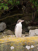 A hoiho (yellow-eyed penguin; Megadyptes antipodes) basks in the weak sunlight after fishing, before getting back onto its nest; Curio Bay, South Island, New Zealand
