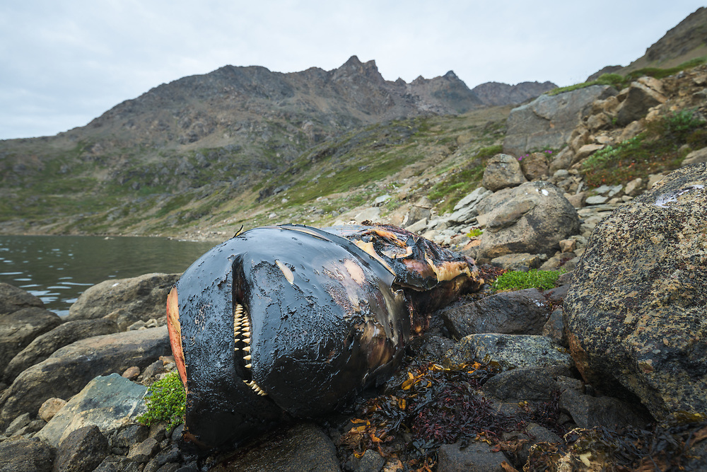 Dead whale on the shore in East Greenland