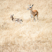 Thomson's gazelles at Ngorongoro Crater in the Ngorongoro Conservation Area, part of Tanzania's northern circuit of national parks and nature preserves.