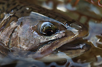 close up detail of a brook trout in the net, White River in Vermont
