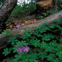 Durham, NH..Wild Geranium, Geranium maculatum, near Woodman Brook...