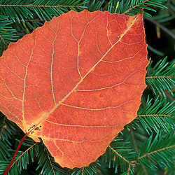 Ferdinand, VT..The leaf of a Bigtooth Aspen, populus grandidentata, on fir branches.  Northern Forest.