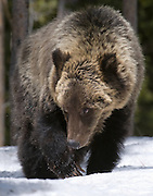 A lone Grizzly Bear scavenges for food in the Craig Pass area of Yellowstone National Park.