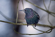Starlings are small to medium-sized passerine birds in the family Sturnidae.
