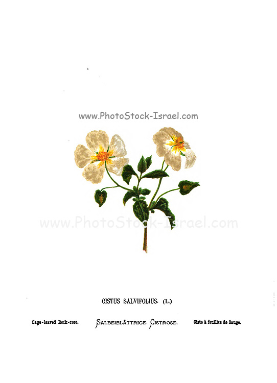 Sage-leaved rock rose, (Cistus salviifolius [Here as Cistus salvifolius]) From the book Wild flowers of the Holy Land: Fifty-Four Plates Printed In Colours, Drawn And Painted After Nature. by Mrs. Hannah Zeller, (Gobat); Tristram, H. B. (Henry Baker), and Edward Atkinson, Published in London by James Nisbet & Co 1876 on white background