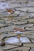 Killdeer (Charadrius vociferus) forage on the mudflats of Leque Island near Standwood, Washington. Killdeer, which are large plover, feed primarily on insects and other invertebrates.
