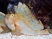 The Leaf Scorpionfish (Taenianotus triacanthus) is venomous. Seattle Aquarium, Washington, USA.