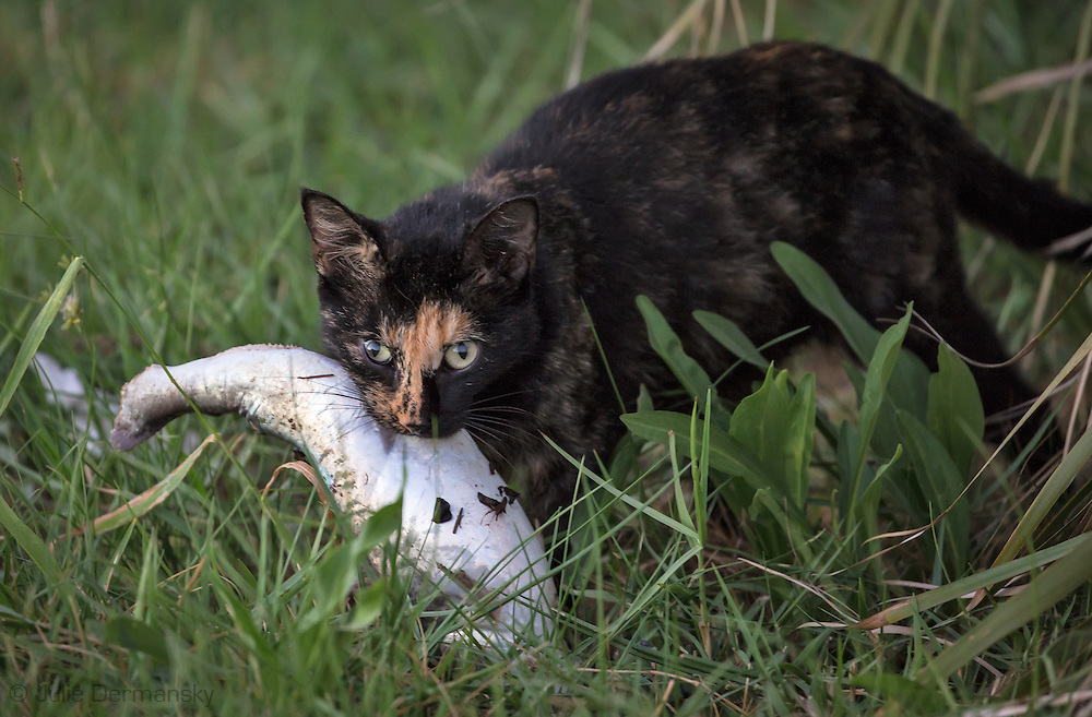 Cat carrying a fish, near the site of a large fish kill off Island Road in Terrebone Parish. Island Road connects Isle de Jean Charles and Pointe au Chien. Officials confirmedlow dissolved oxygen levels in the water alongside Island Road in Isle de Jean Charles caused the fish kill in October, which was unseasonably warm in 2016.