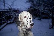 """English Setter """"Rudy"""" sitzt am 03.01. 2019 im ersten Schnee des Jahres im Garten von Lysa nad Labem, (Tschechische Republik).  Rudy wurde Anfang Januar 2017 geboren."""