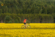 Road bicycling through ripe fields of canola near Whitefish, Montana, USA MR