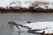 A coyote leaps into the air in order to cross a section of the Madison River in Yellowstone