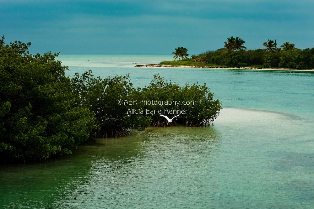 Great Egret Taking flight in the Florida Keys.