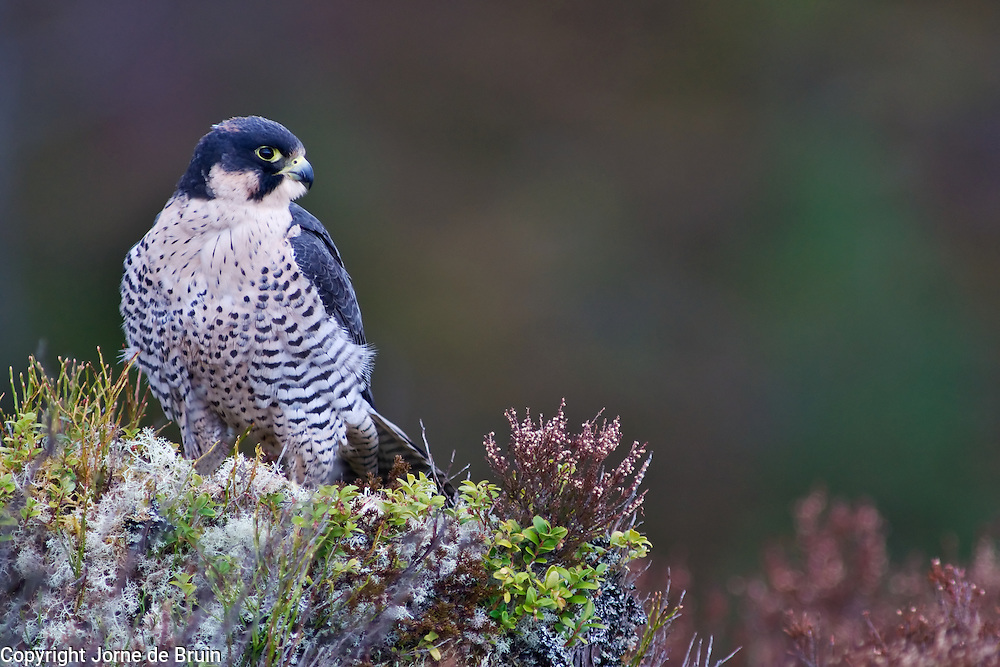 A Peregrine Falcon is sitting on a rock in the Scottish Highlands in the Cairngorms National Park, Scotland