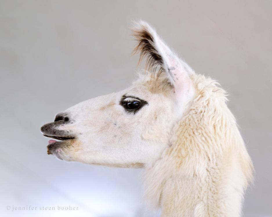 White llama at the Blue Hill Fair, Maine.
