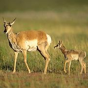 Pronghorn antelope (Antilocapra americana) fawn following a doe across a prairie during the spring.