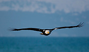 Bald Eagle (Haliaeetus leucocephalus) shows a distinct plumage pattern.  Kenai Peninsula, Alaska