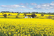 barn and silos in a field of flowering canola crop under blue sky and cumulus cloud at Woodstock, New South Wales, Australia. <br /> <br /> Editions:- Open Edition Print / Stock Image