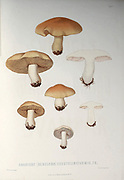 Agaricus [Hebeloma] crustuliniformis from the book Sveriges ätliga och giftiga svampar tecknade efter naturen under ledning [Sweden's edible and poisonous mushrooms drawn after nature under guidance] By Fries, Elias, 1794-1878; Kungl. Svenska vetenskapsakademien Published in Stockholm, Sweden in 1861