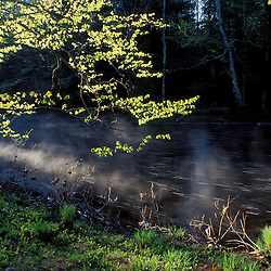 The sun lights up the leaves of a hophornbeam tree on the banks of the Lamprey River on SPNHF's new Chase Preserve.  National Wild and Scenic River.  Epping, NH