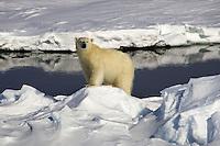 Noruega. Ártico. Norte de las Islas Svalbard.<br /> Oso polar sobre un montículo de hielo.<br /> <br /> © JOAN COSTA