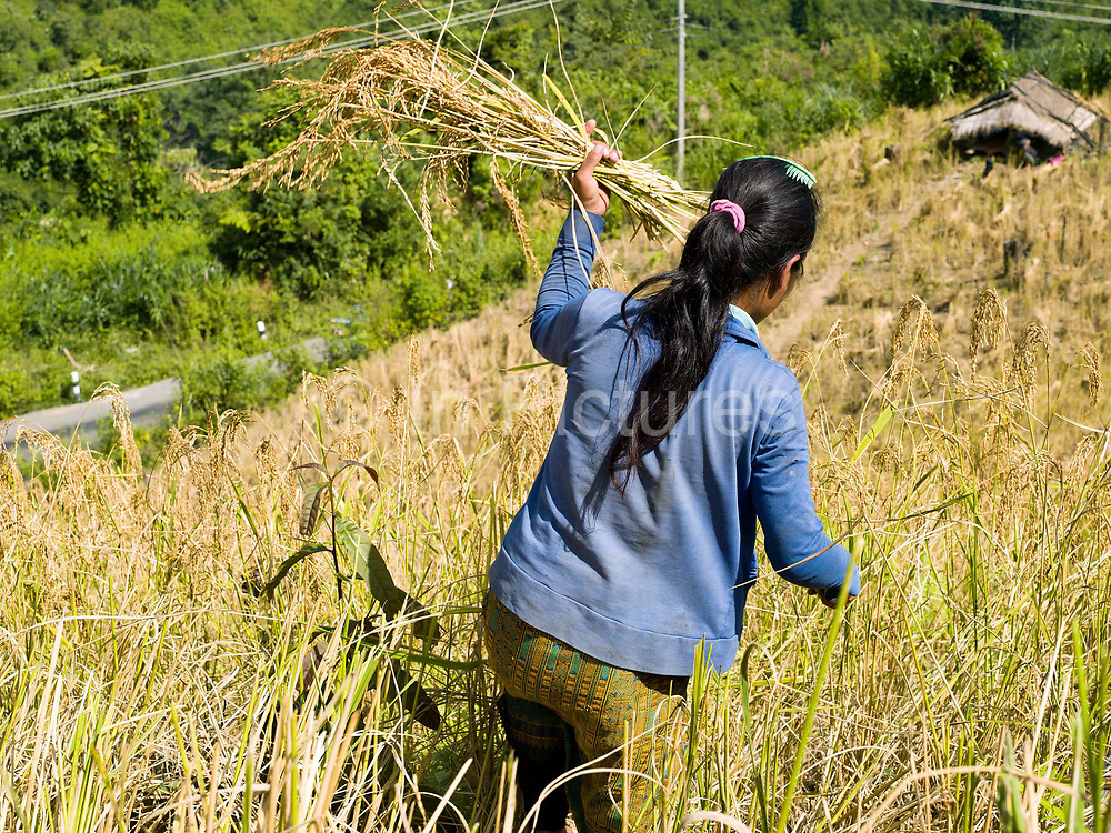 A young Akha Pouli ethnic minority woman harvesting glutinous rice using a sickle, on an upland field, Ban Pichermai, Phongsaly province, Lao PDR.  Compared to more modern sedentary lowland farmers, shifting cultivators generally use much fewer purchased inputs.  The main inputs are family labour, hand tools and seeds. Purchased fertilisers are never used on sloping land.