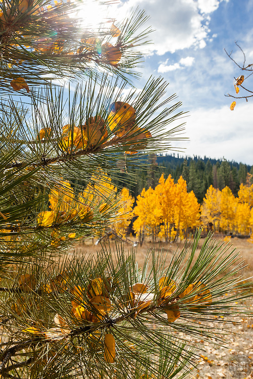"""""""Aspen Leaves in Pine Tree"""" - These yellow aspen leaves that were stuck in the needles of a pine tree were photographed in Fall near Brockway Summit, Tahoe"""