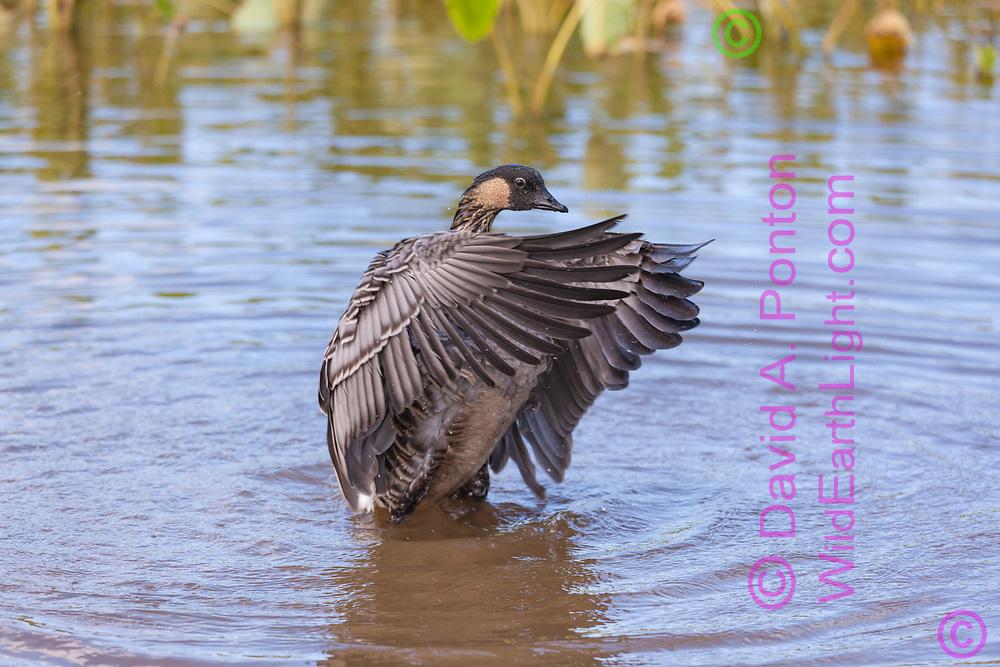 Hawaiian goose flaps it wings to shake out water after bathing, Kauai, Hawaii, © David A. Ponton