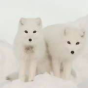 Arctic Fox pair along the ice edge of Hudson Bay, Cape Churchill, near Churchill, Manitoba, Canada.