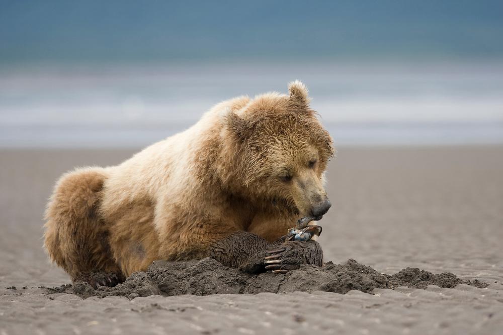 USA, Alaska, Katmai National Park, Brown bear (Ursus arctos) digging for clams at low tide on tidal mud flats along Hallo Bay