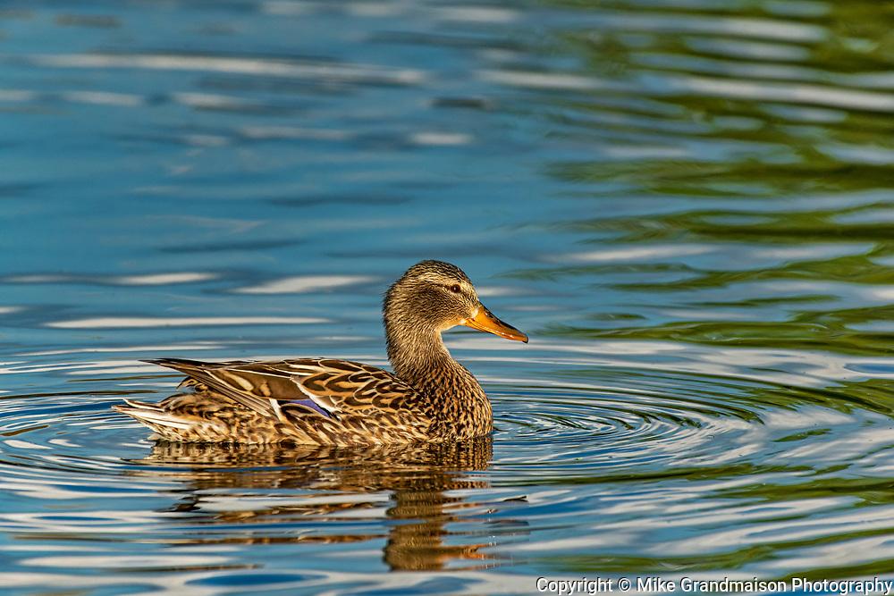 Mallard duck (Anas platyrhynchos) female<br />Winnipeg<br />Manitoba<br />Canada