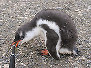 """A Gentoo Penguin chick (Pygoscelis papua) bites a tripod leg, on Aicho Island, Antarctica. """"Don't approach penguins closer than 15 feet,"""" says an Antarctic tourism rule in 2005. But if you lie down on the ground more than 15 feet away, a curious Gentoo Penguin chick may approach you. An adult Gentoo Penguin has a bright orange-red bill and a wide white stripe extending across the top of its head. Chicks have grey backs with white fronts. Of all penguins, Gentoos have the most prominent tail, which sweeps from side to side as they waddle on land, hence the scientific name Pygoscelis, """"rump-tailed."""" As the the third largest species of penguin, adult Gentoos reach 51 to 90 cm (20-36 in) high. They are the fastest underwater swimming penguin, reaching speeds of 36 km per hour."""