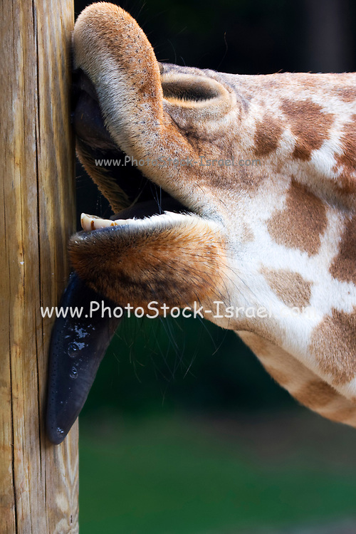 Giraffe licking a pole. Close-up of a giraffe (Giraffa camelopardalis) licking a wooden pole. Giraffes have specially adapted lips and a prehensile (highly manoeuvrable) tongue to help them strip leaves from trees.
