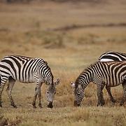Burchell's Zebra, (Equus burchelli) Herd grazing on Serengeti Plains.Masai Mara Game Reserve. Kenya. Africa.