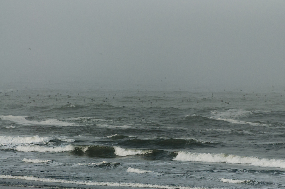 Sooty Shearwaters (Puffinus griseus) migrating in the sea mists on the Pacific coast of Washington, Olympic National Park.