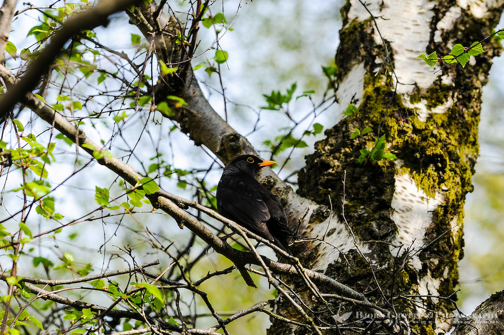 Norway, Stavanger. Blackbird in a tree.