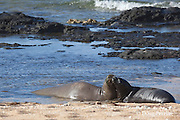 Hawaiian monk seals, Monachus schauinslandi, Critically Endangered endemic species, mother and 5-week old pup (will be weaned in 6 days), Larsen's Beach, Moloa'a, Kauai, Hawaii ( Central Pacific Ocean )