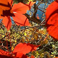 Leaves are illuminated beside the Schuylkill River in Philadelphia, PA November 4, 2015.
