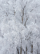 Hoarfrost and snow covers trees in Southcentral Alaska. Winter. Afternoon.