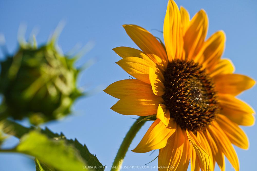 Mammoth Russian sunflower against a bright blue sky(Helianthus annum 'Mammoth Russian').