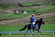 Icelandic horse doing the tolt at Dalur Horse Farm, Iceland.